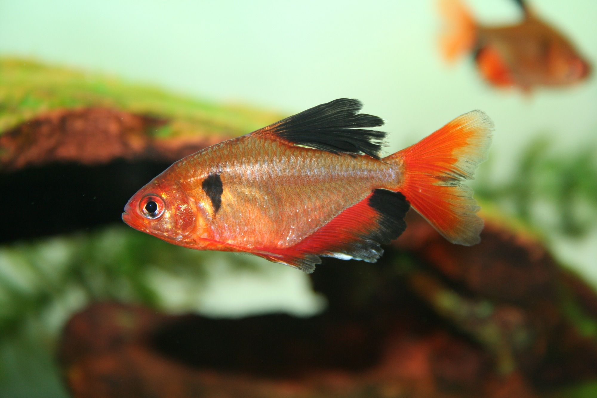 Serpae tetra fish breed profile for Tetra acquario