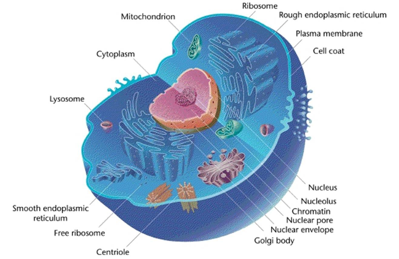 Animal cells and the membrane bound nucleus pooptronica