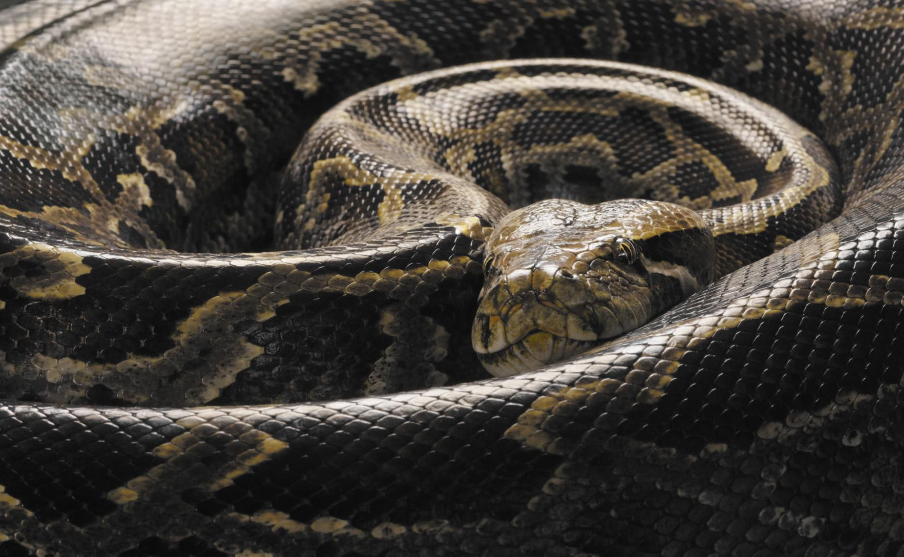 How To Take Care Of Burmese Pythons As Pets
