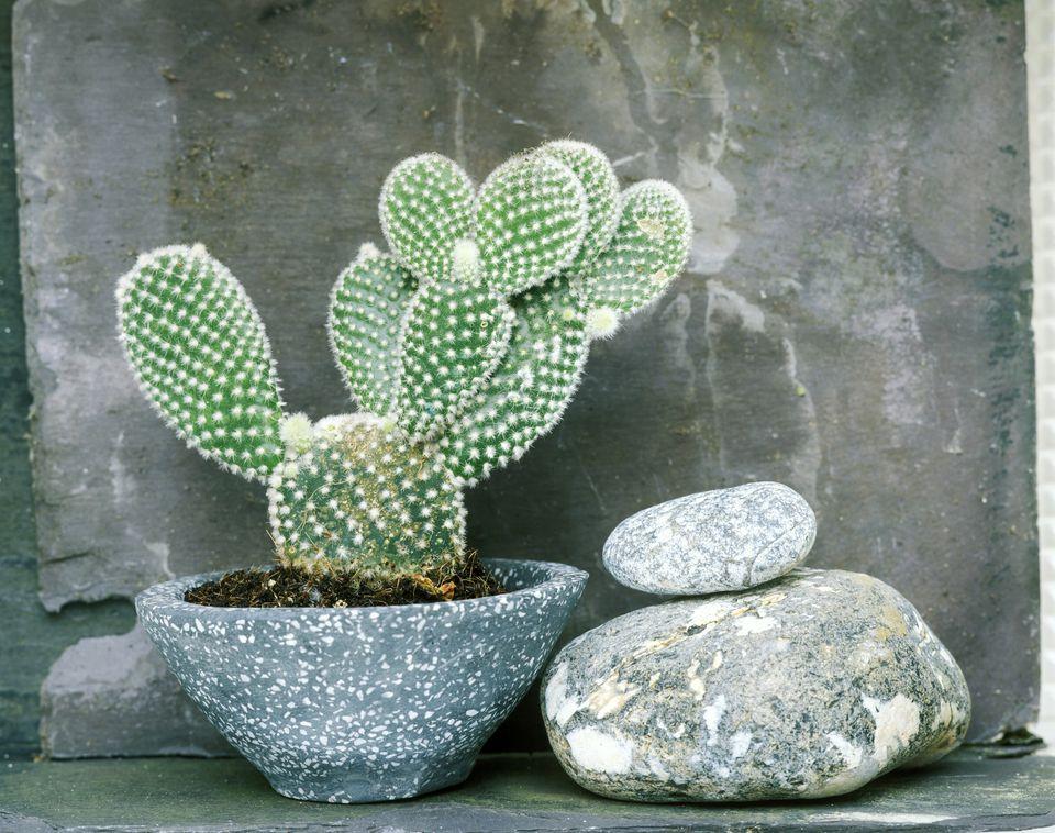 Opunta Albispinia Cactus