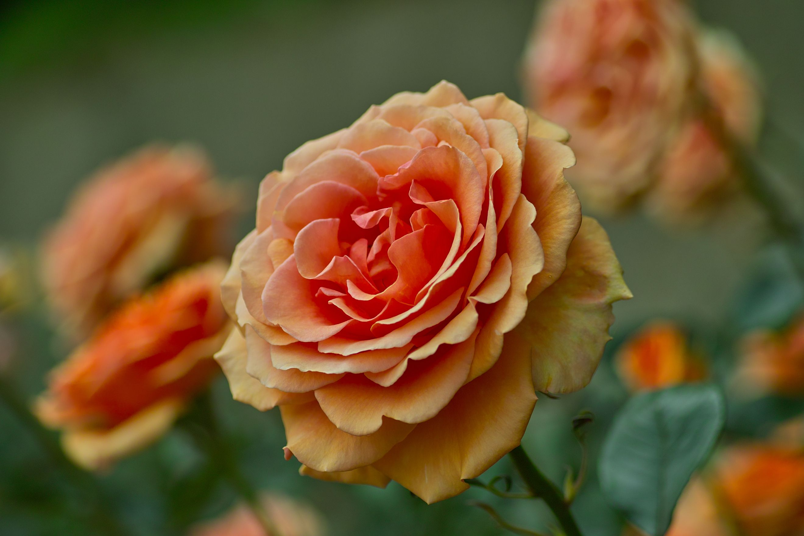 The Best Companion Plants For Roses