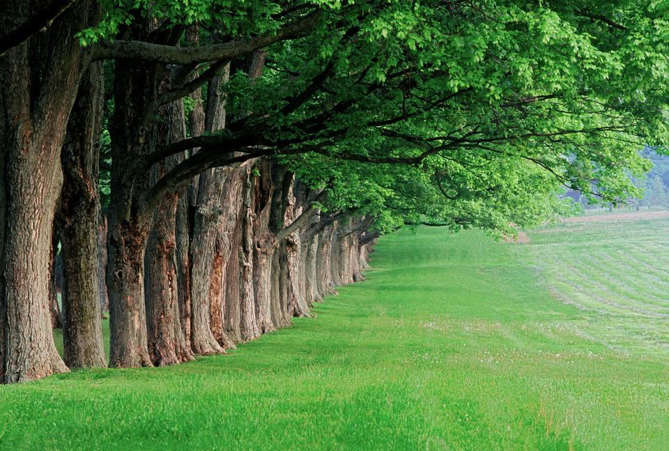 Stately row of trees, Louisville, Kentucky, USA