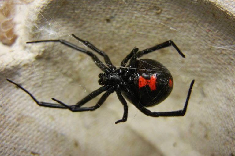 The black widow spider is venomous.