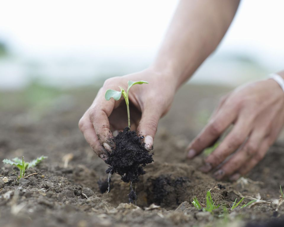 Seedling being planted in ground