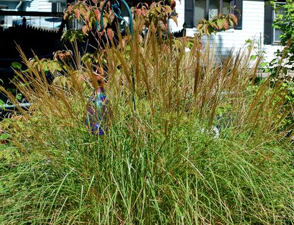 Deer resistant ornamental grasses for Maiden grass landscaping ideas