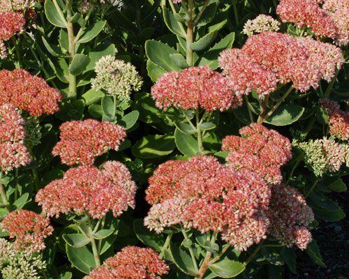 Autumn Joy sedum picture. Unlike some succulents, Autumn Joy sedum is grown for its flowers.