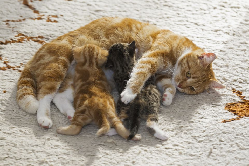 Germany, Cat nursing kittens, close up