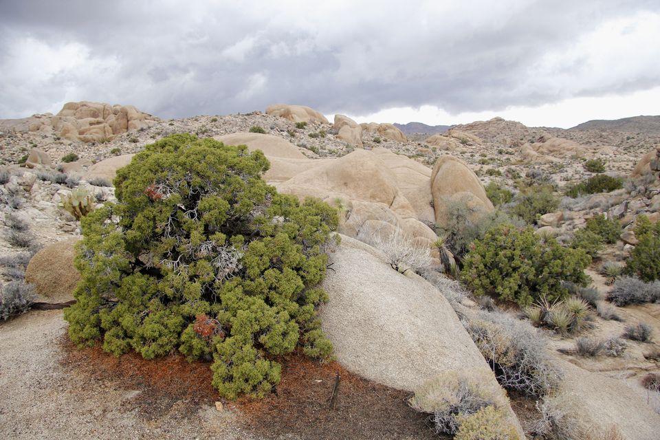 California juniper