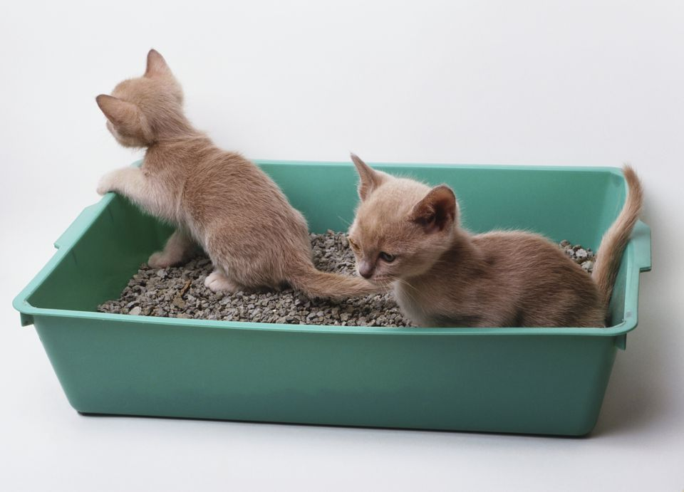 Two greyish-brown kittens (Felis silvestris catus) in green plastic litter tray, paw of one kitten resting on edge of tray.
