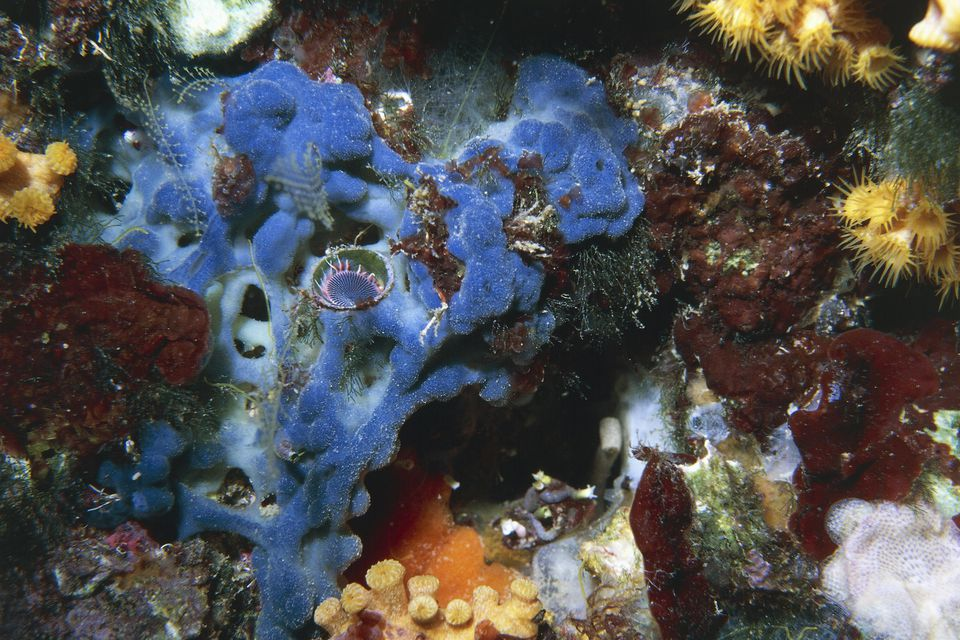 Red algae (Peyssonnelia squamaria) and member of Serpulidae's family on a sponge