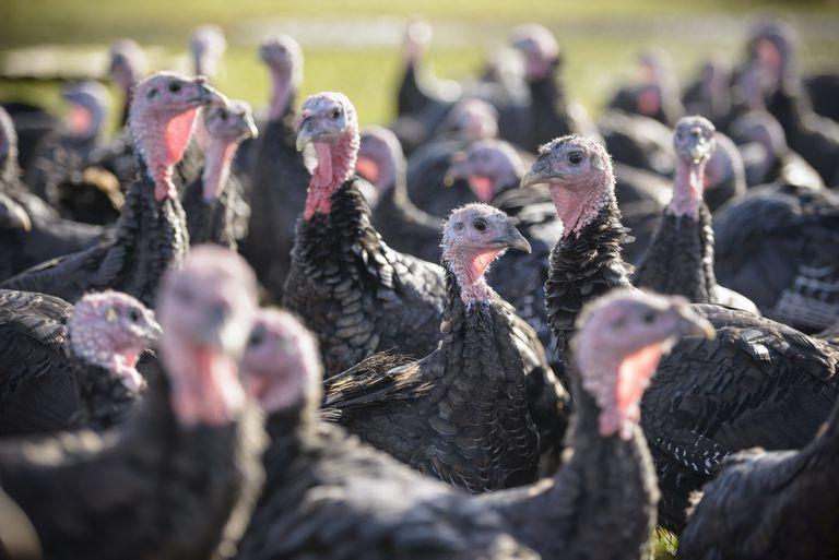 Turkeys on free range turkey farm