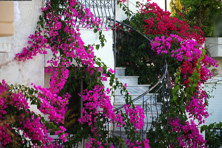 Pink flowers of bougainvillea growing around a staircase in Rhodes, Greece.