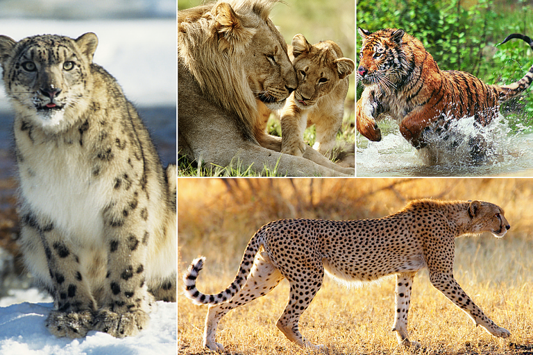 Collage of Big Cats