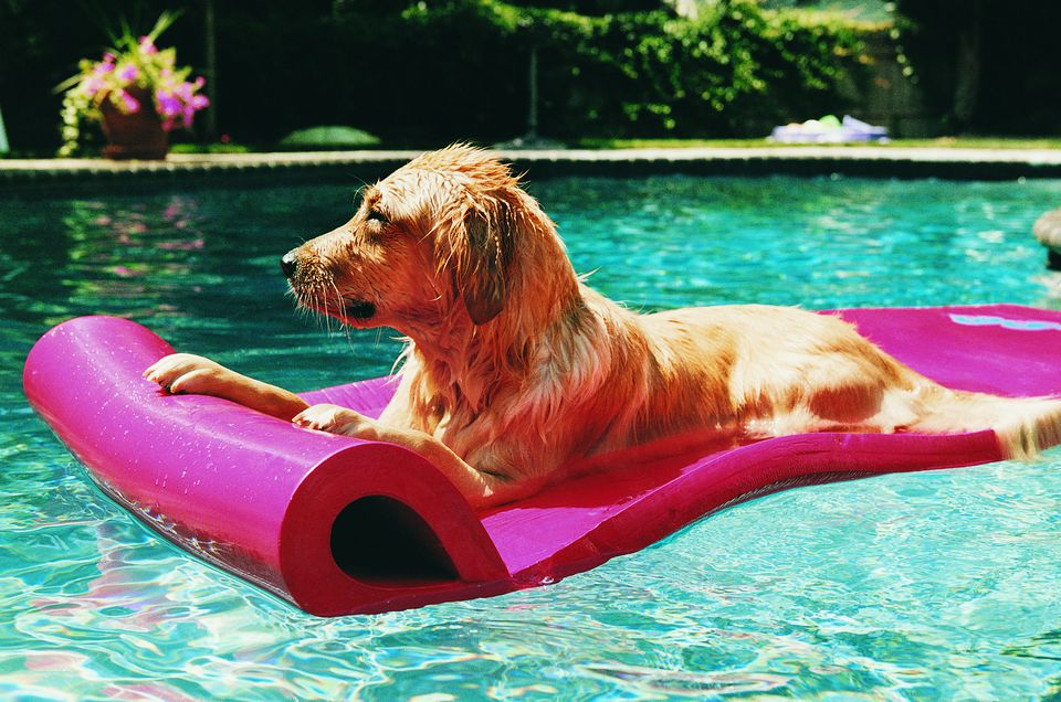Golden Retriever Lying on an Air Bed in a Swimming Pool