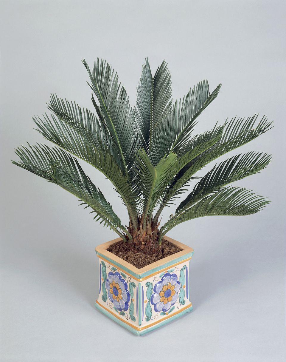Close-up of a potted Sago palm (Cycas revoluta)