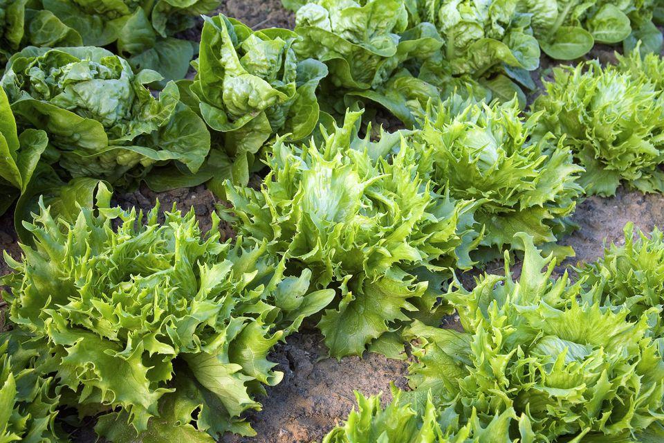 Lettuce (Lactuca sativa) 'Reine des Glaces'