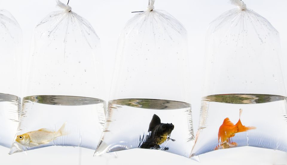 Goldfish in bags