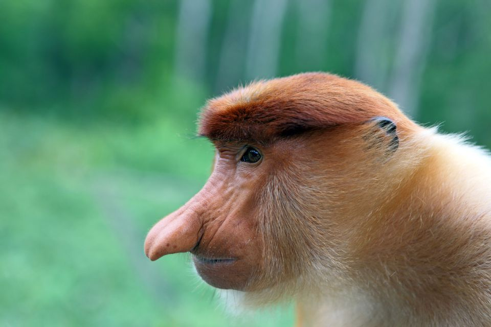 Male Proboscis monkey at Labuk Bay Proboscis Monkey Sanctuary