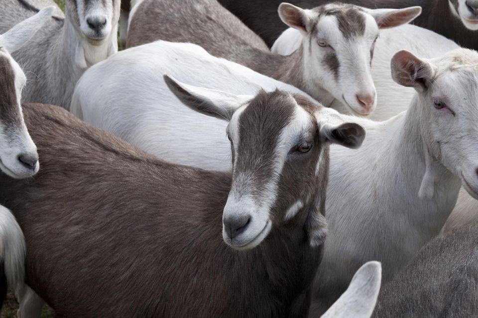 Springstep goat farm, Maldon, Essex, United Kingdom