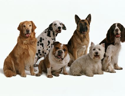 Doberman Pinscher Dog Breed Profile