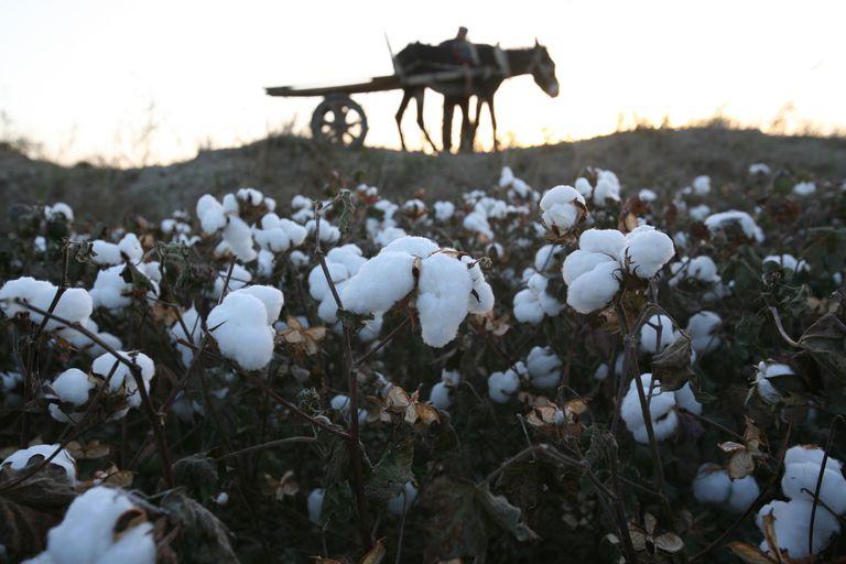 Cotton Field, Xinjiang Province, China