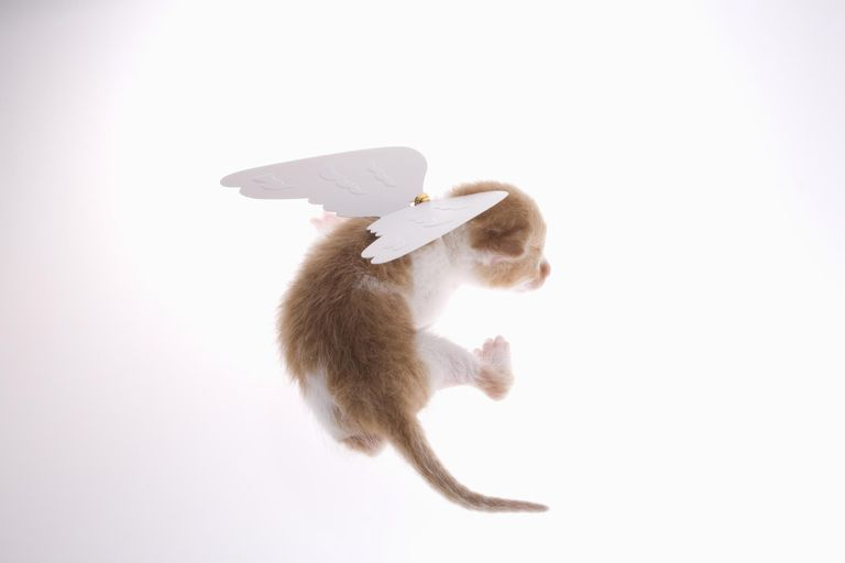 Kitten with angel wings attached to back, rear view