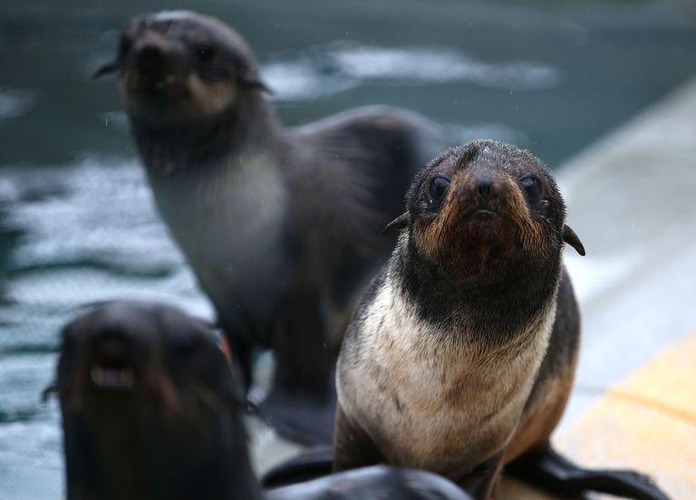 Northern Fur Seal Pups