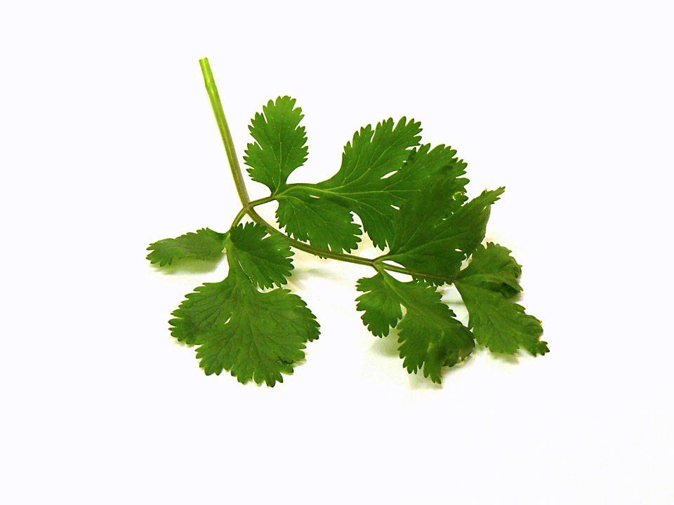 cilantro, herb, recipes, coriander, receipts