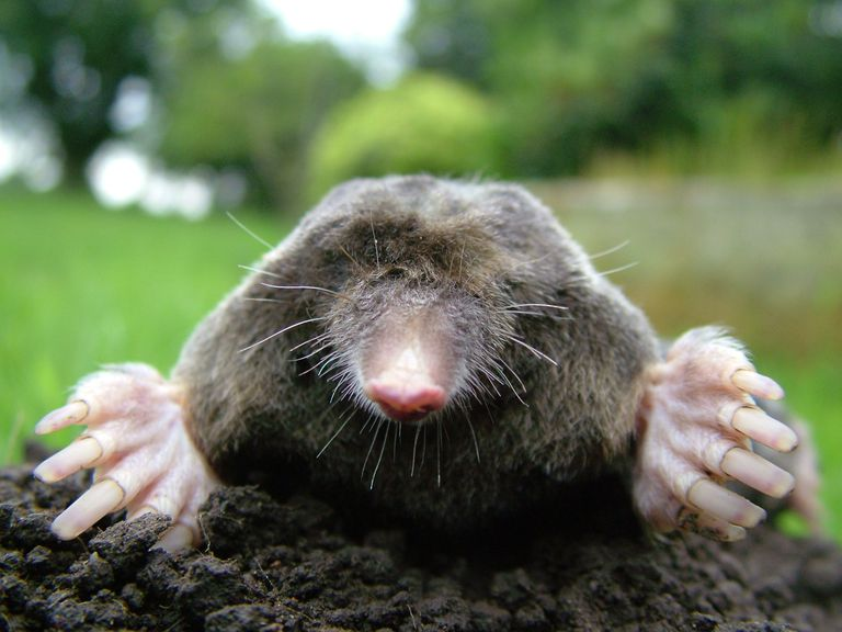The mole is the traditional mascot for Mole Day.