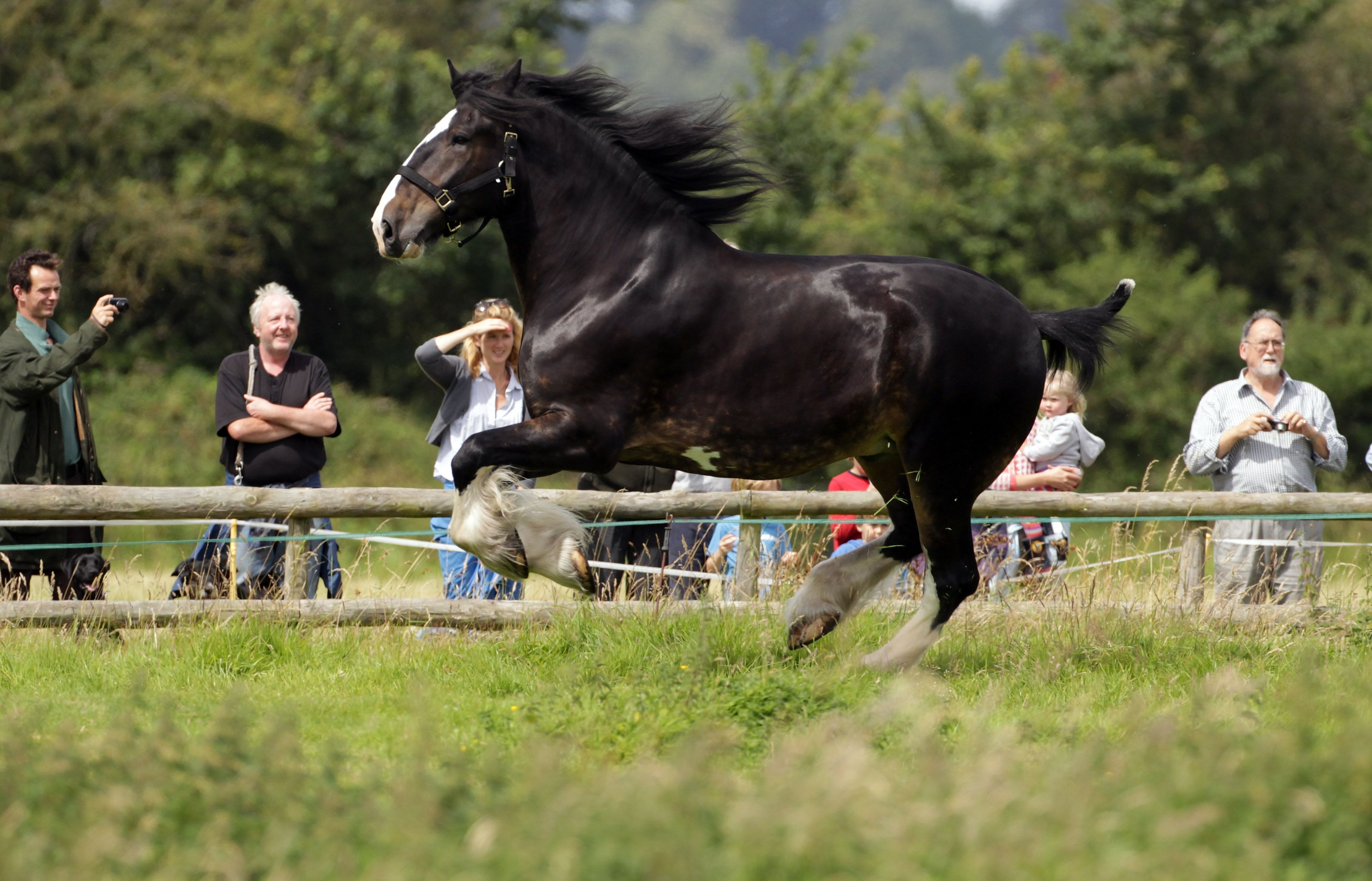 Shire Horse Horse Breed Profile