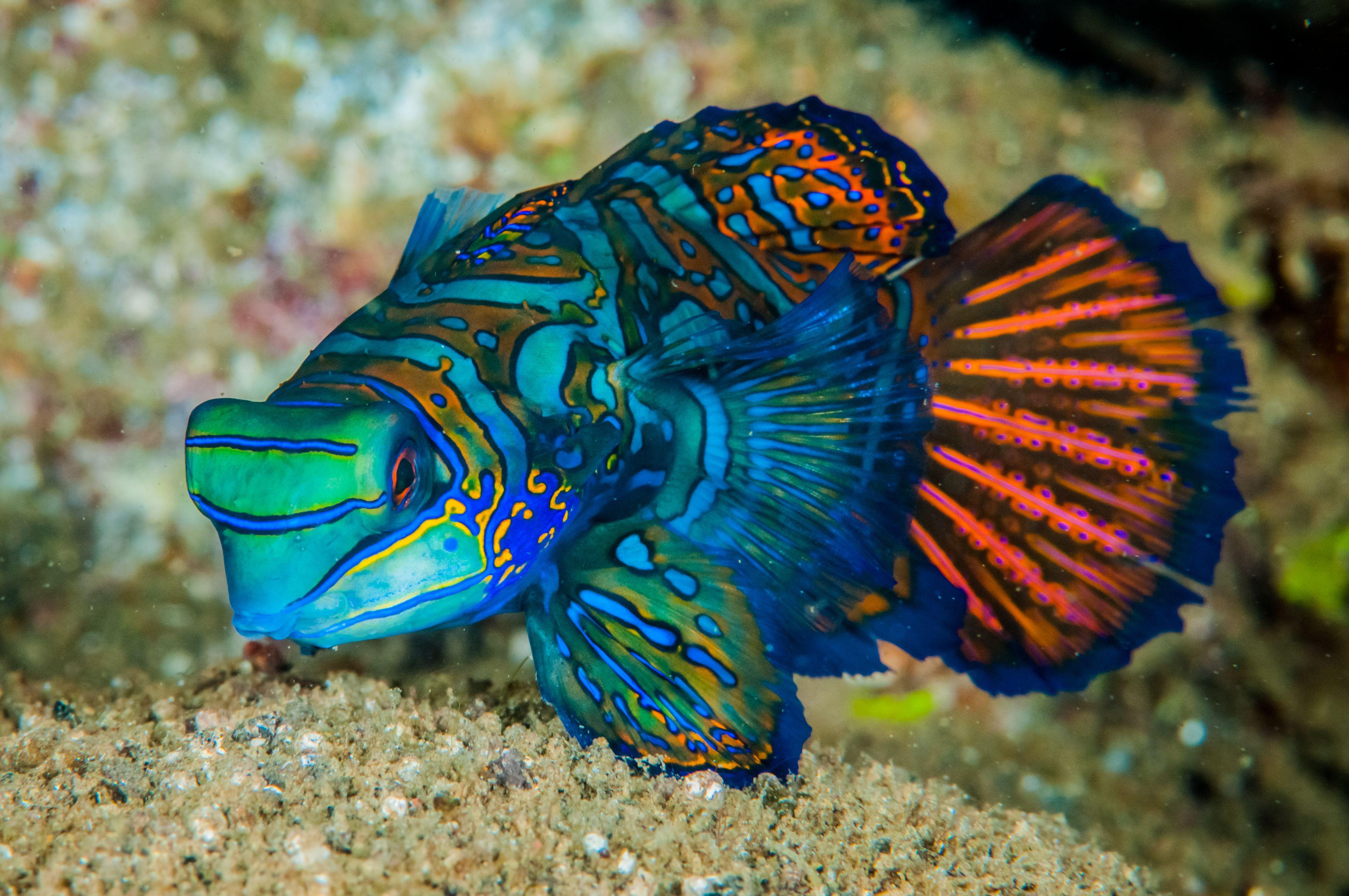 Blue Mandarin Dragonet | Mandarinfish Dragonets Care Information