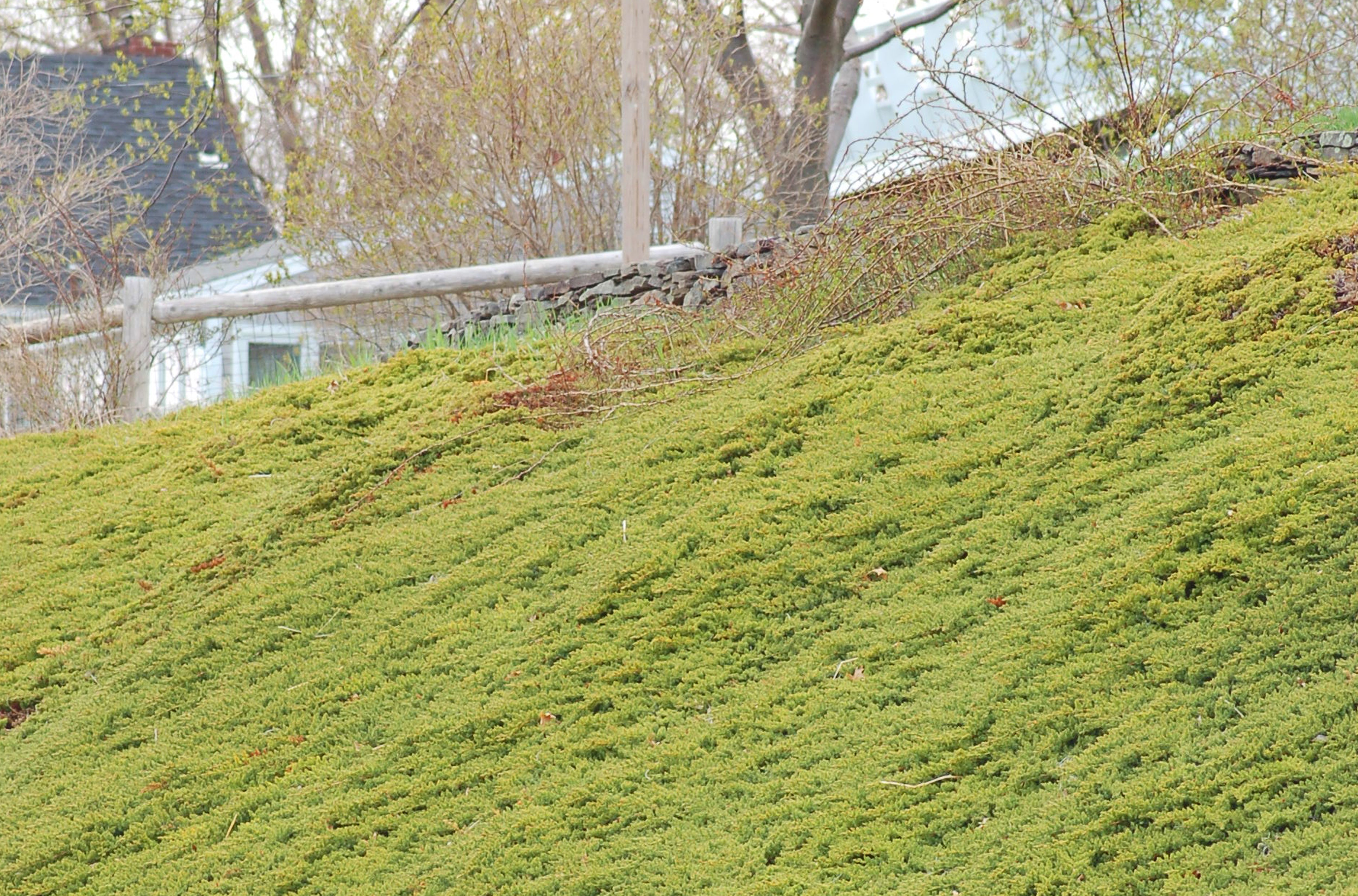 Creeping Junipers Can Tame and Beautify Steep Hills