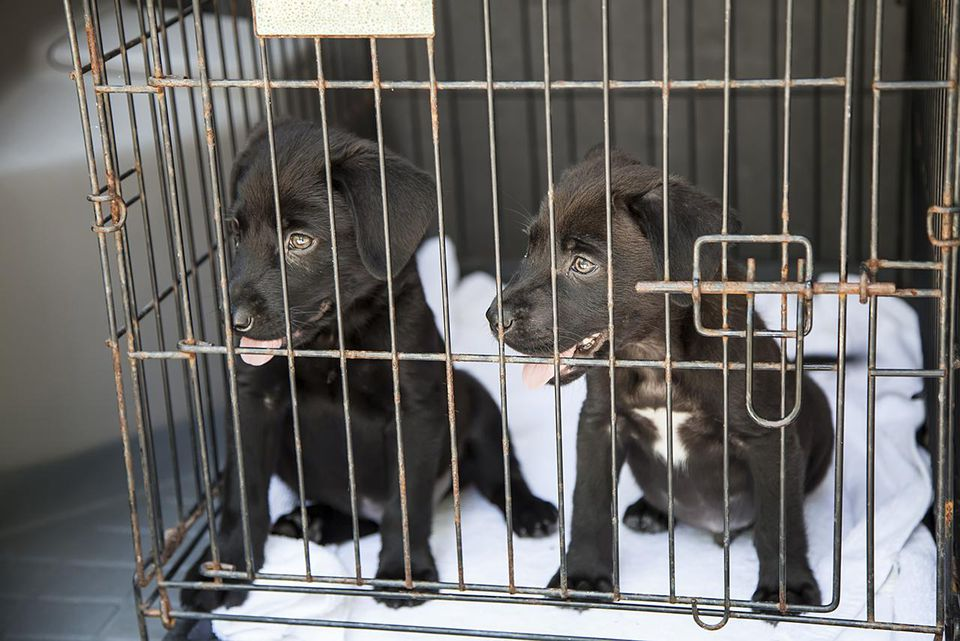 Mixed Lab puppies in a cage.