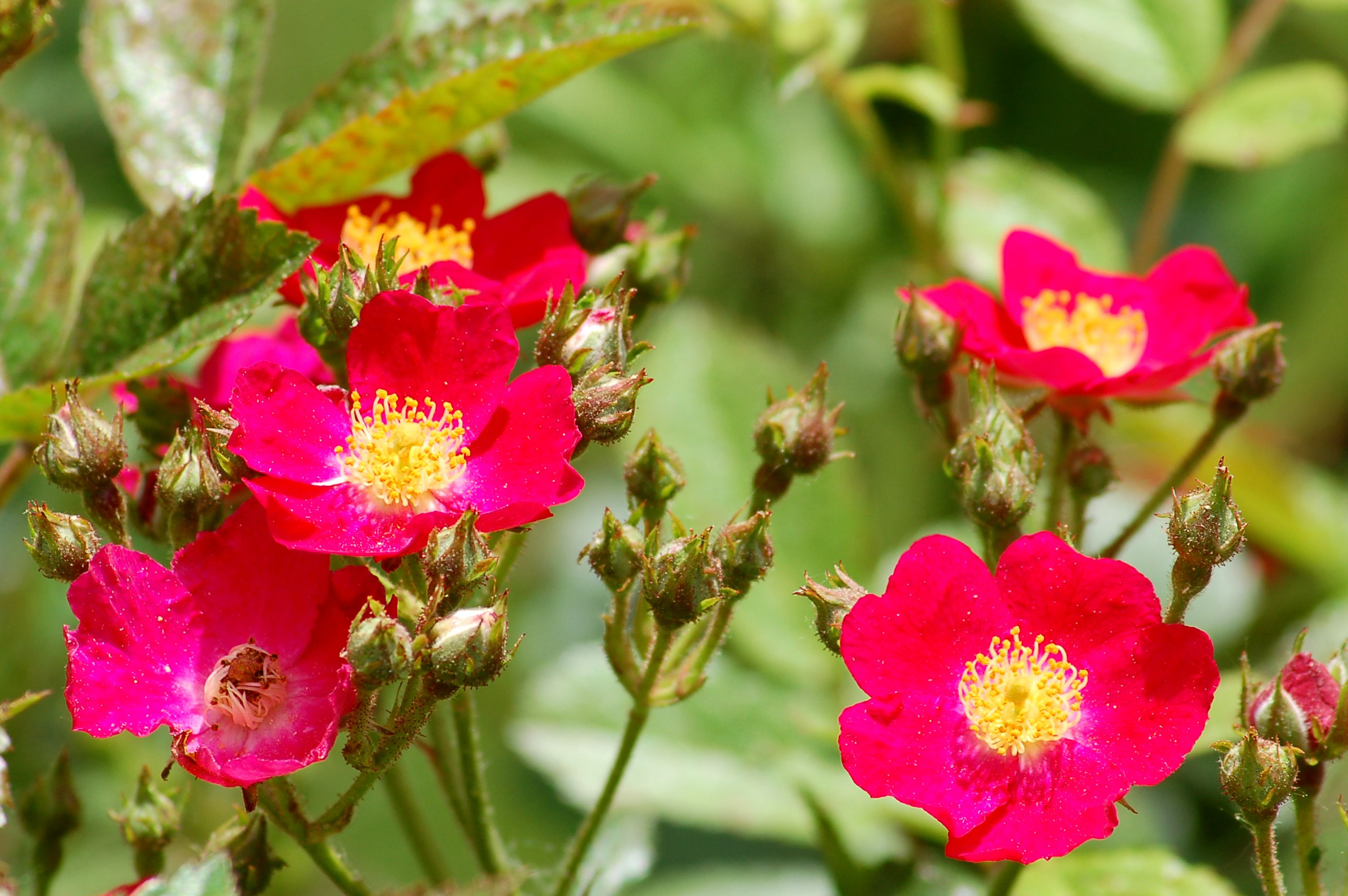 Late Summer Flowering Shrubs 10 Best Bloomers
