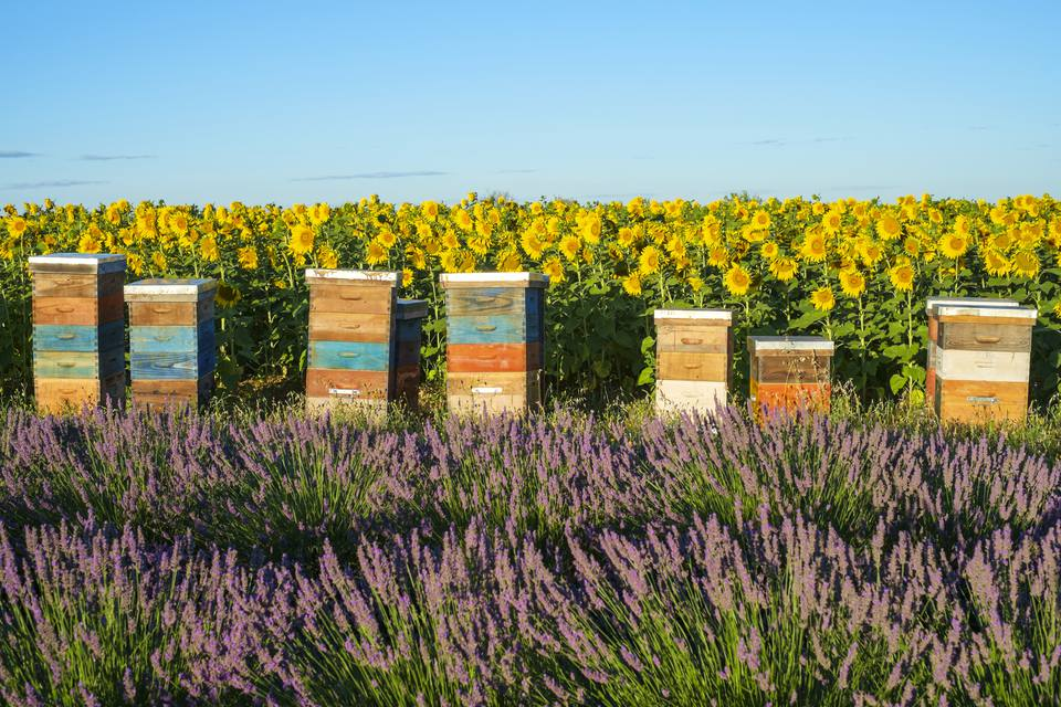Beehives between lavender and sunflower fields on the Plateau de Valensole