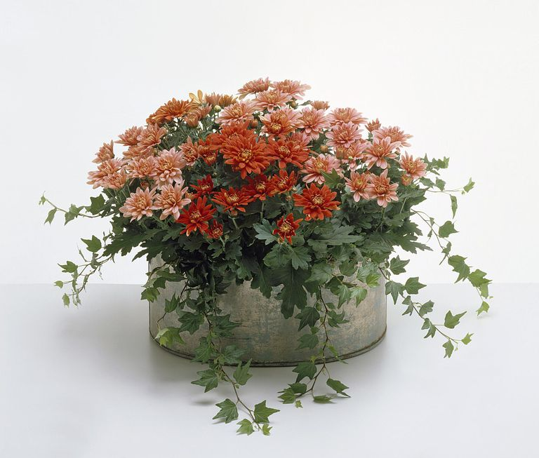 chrysanthemums as air purifying house plants