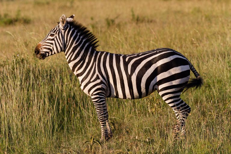 Zebra for lesson on conjugating 'tener'