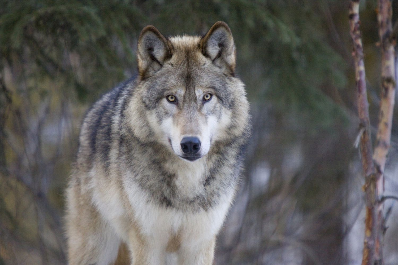Wolf folklore legend and mythology biocorpaavc