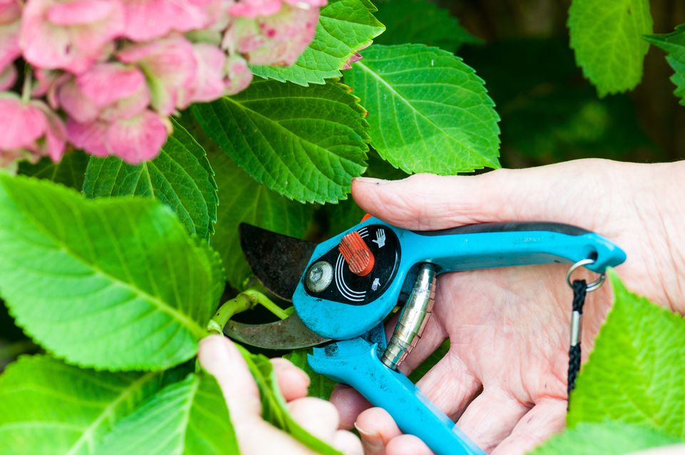 Cutting of hydrangea in a garden,
