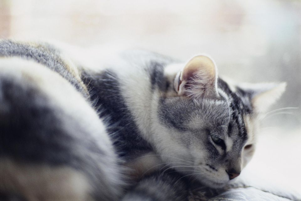 Cat resting head on paws, close-up