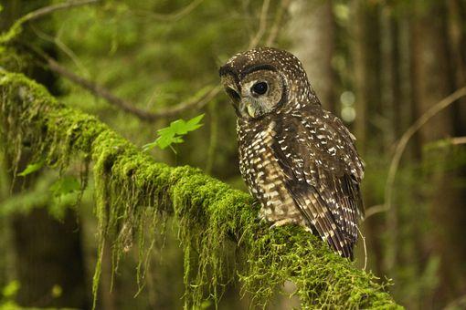 Northern Spotted Owl, Coast Range, Oregon.