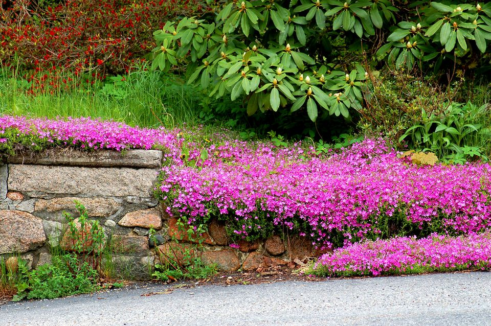 Creeping phlox (image) looks good spilling down a hill or over a wall. Here's a pink type.