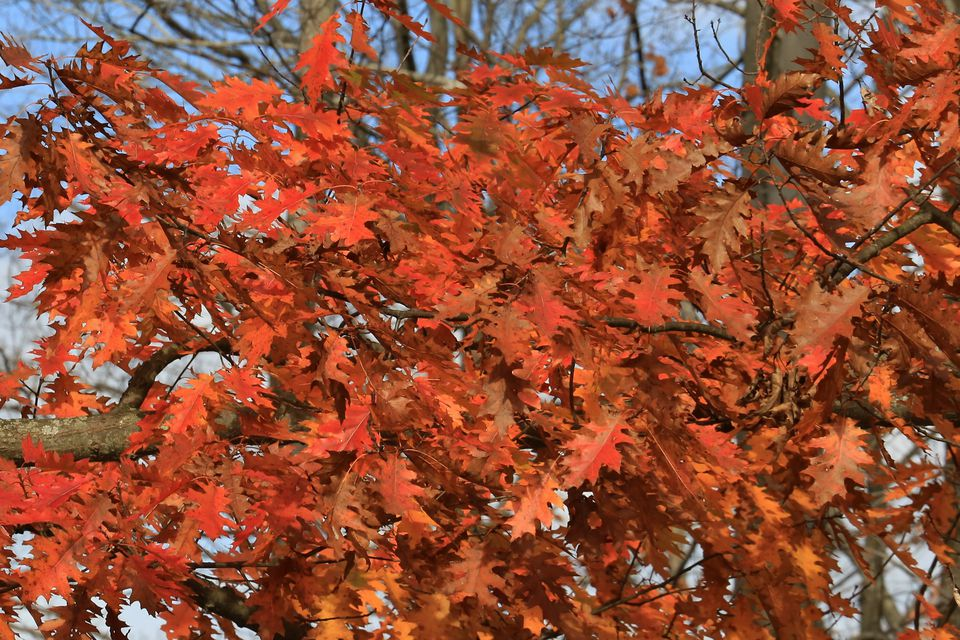 Northern Red Oak tree