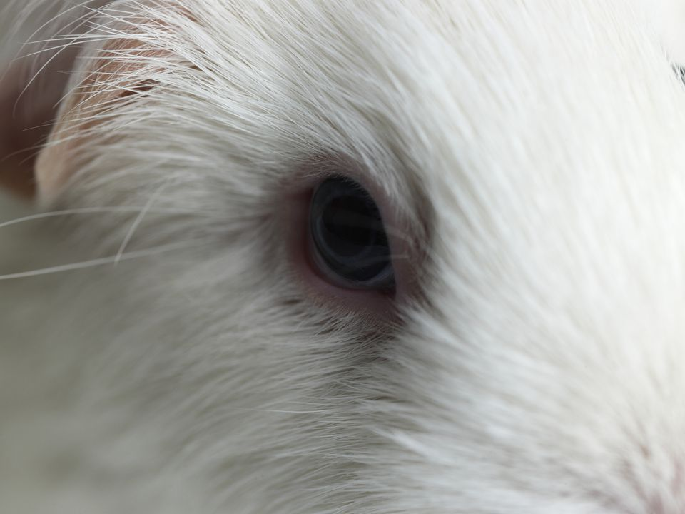 Guinea pig eye close up