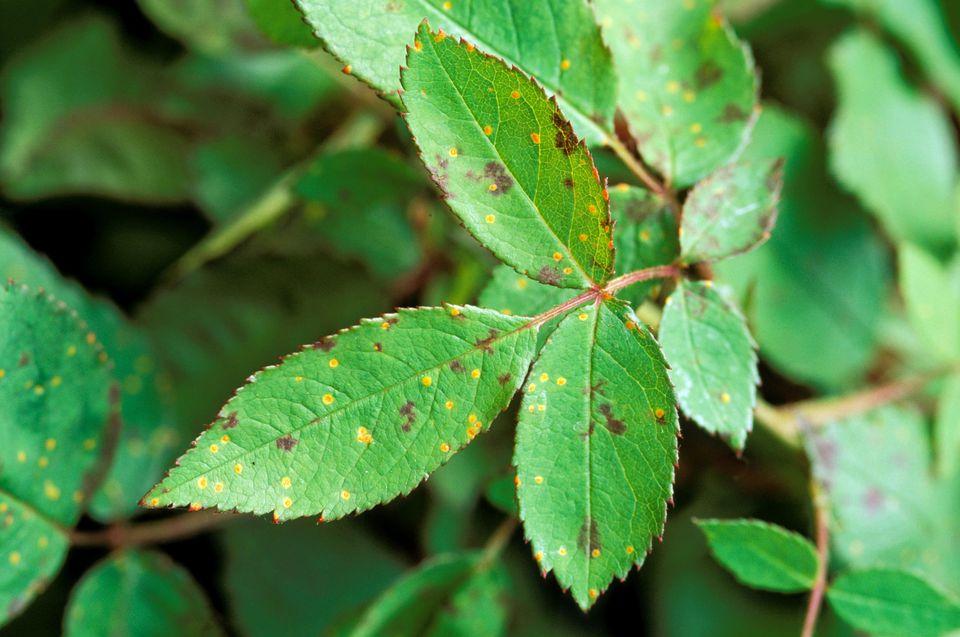 Fungus rose blackspot (diplocarpon rosae) and rose rust (phragmidium sp) on rosa leaf may