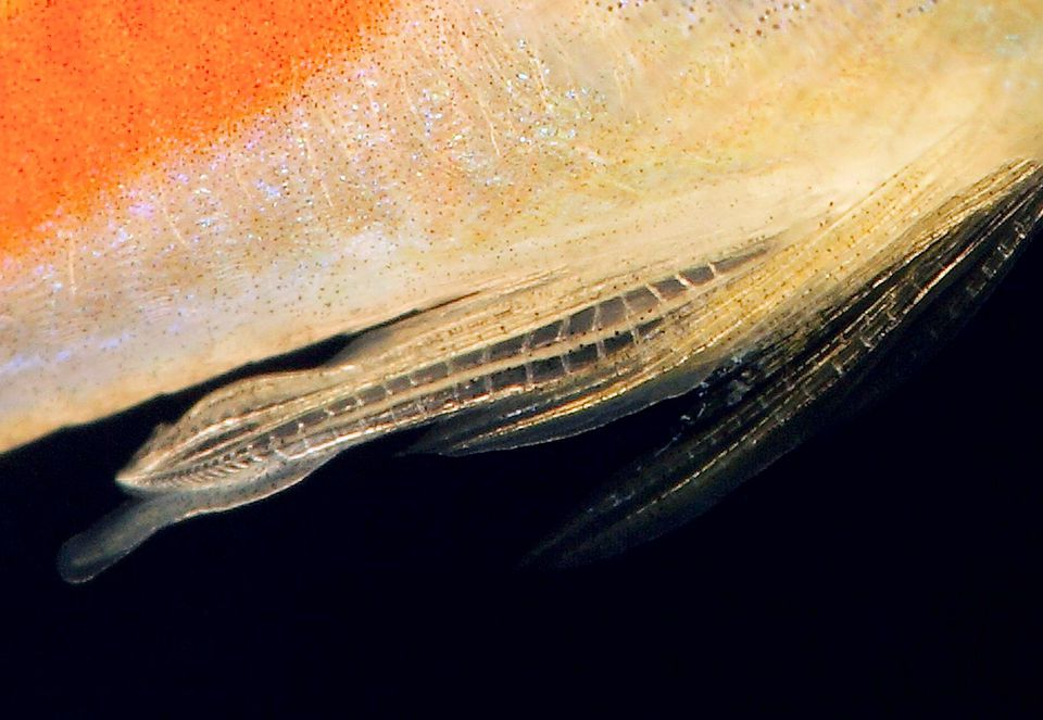 Poecilia wingei - Gonopodium