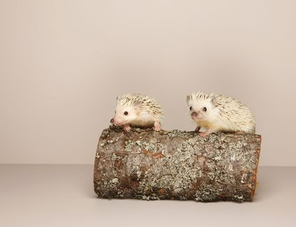 Can Hedgehog Eat Hamster Food