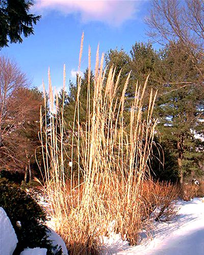 Ornamental grass is most striking in the winter landscape.