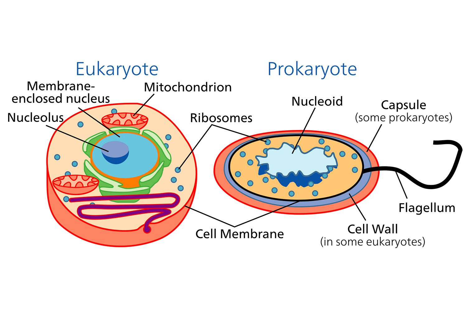 Worksheets Prokaryotic And Eukaryotic Cells Worksheet the cell prokaryotic and eukaryotic cells learn difference between cells