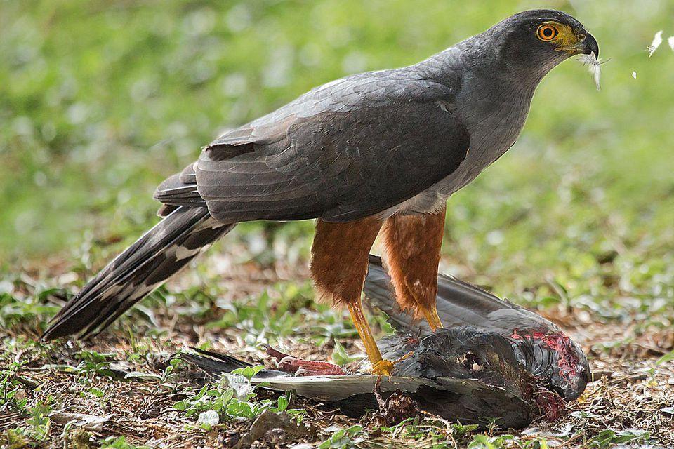 Bicoloured Hawk With Prey